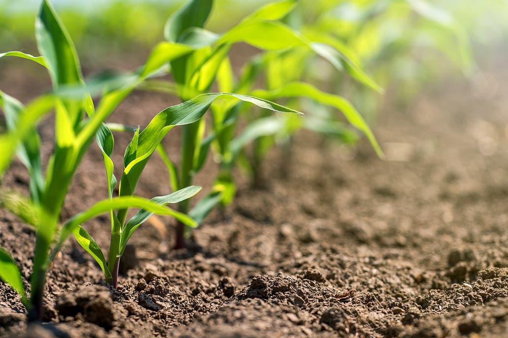 Maíz: siembras con escasez de humedad