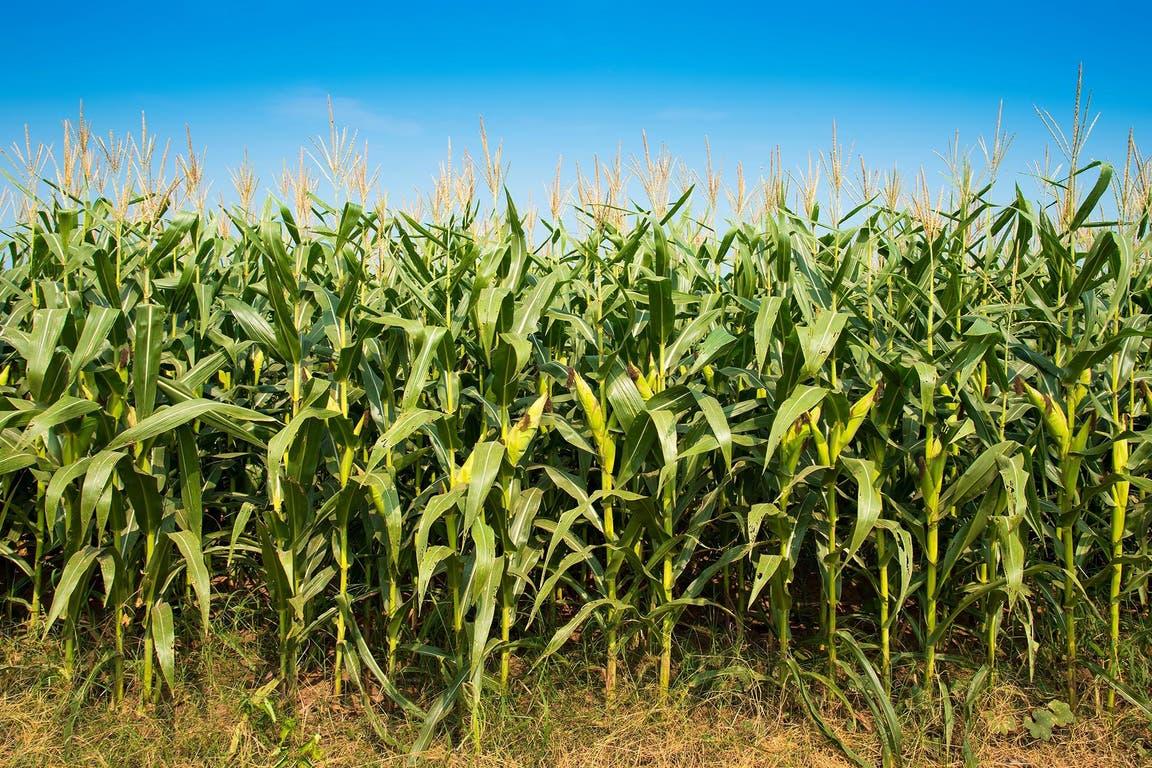 En el maíz, el clima en EE.UU. marcará el pulso del mercado
