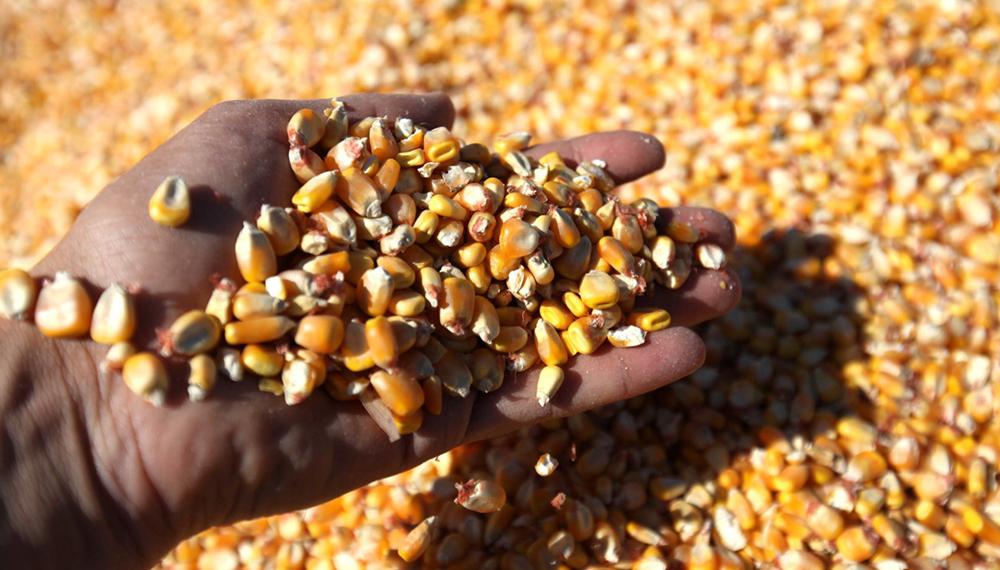 El área de maíz se incrementaría la mitad de lo que esperaban
