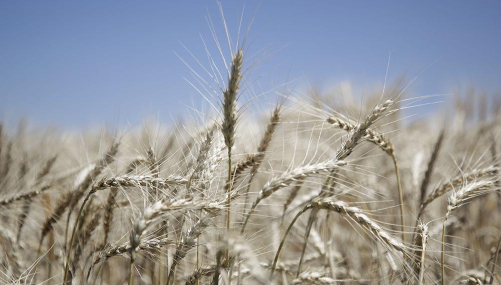 La siembra de trigo terminó en 6,6 millones de ha, la mayor en 17 años