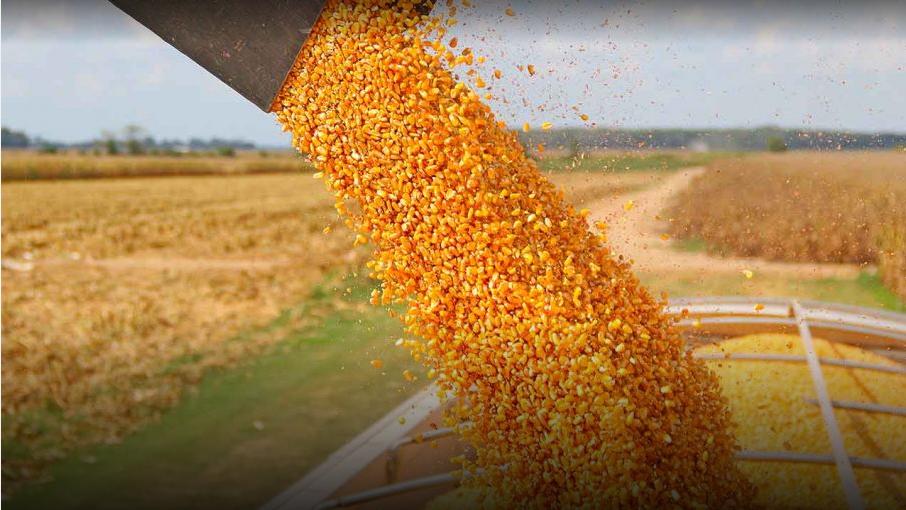 La recolección de maíz con destino grano comercial avanzó a buen ritmo