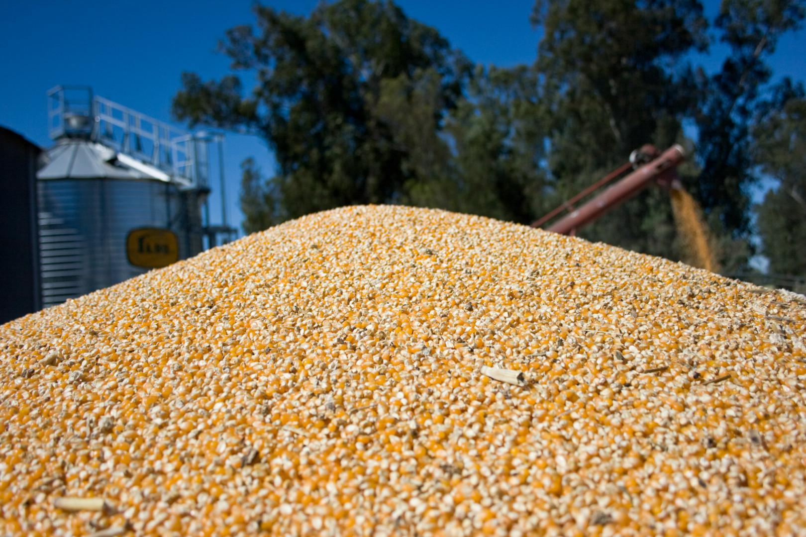 Récord de exportaciones de maíz: 24,9 millones de toneladas entre enero y agosto