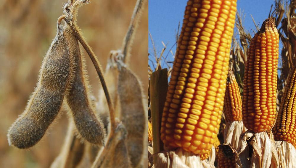 Cosecha gruesa: ya se trilló el 90,7% del área apta de soja y el 37,4% de maíz